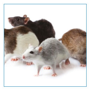 SMCleanNW | Commercial Office Cleaning Chester | Rats